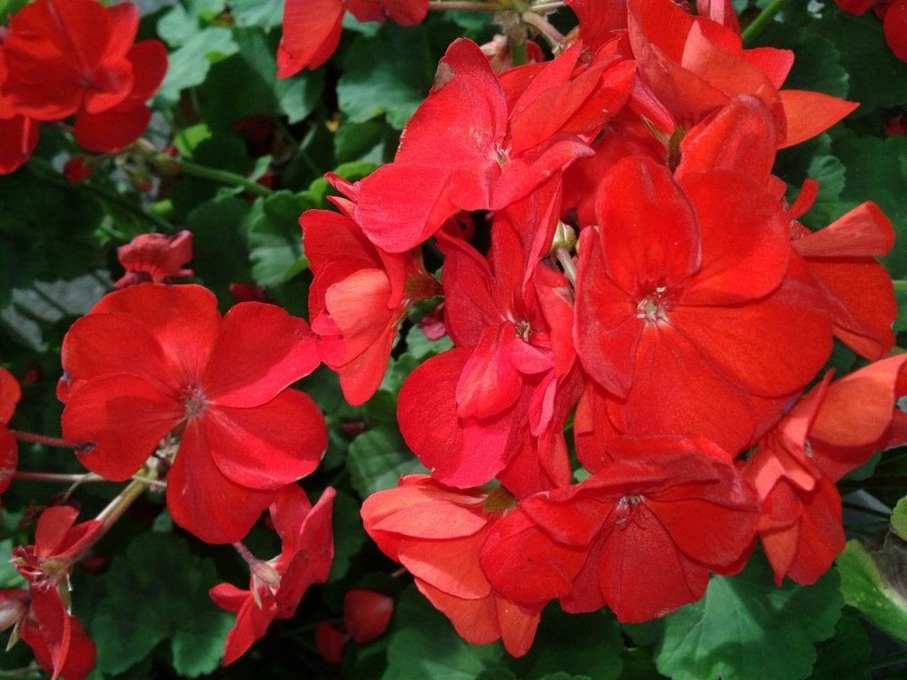 Plantas con Flores Rojas